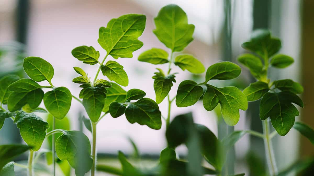 growing food indoors on windowsill - herbs